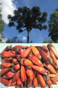 Araucaria angustifolia tree (Paraná Pine) with pinhões
